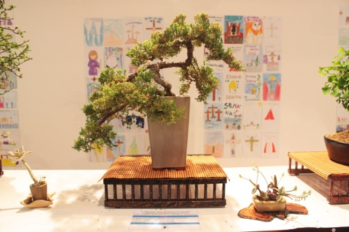 Bonsai Juniperus Rigida - Novelda Club Bonsai - torrevejense