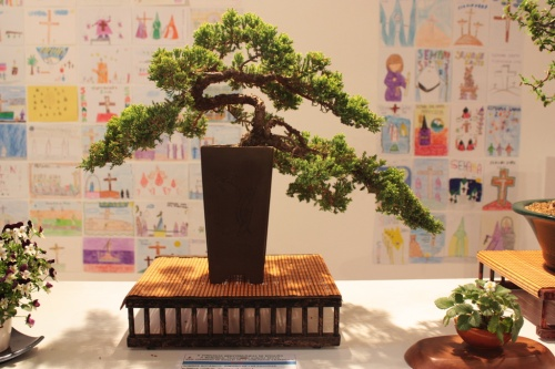 Bonsai Enebro de las Pagodas - torrevejense