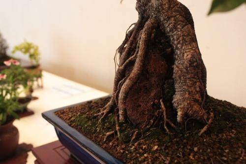 Bonsai Ficus Retusa - Raices - torrevejense