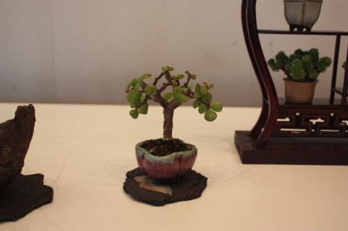 Bonsai Asociación Alcazaba - torrevejense