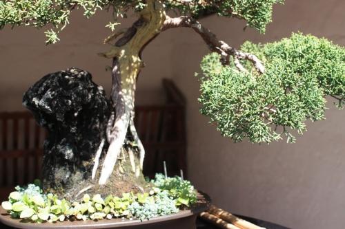 Bonsai 10587 - Bonsai Oriol