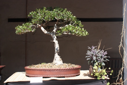 Bonsai Olivo de Alvaro Vinal - Bonsai Oriol