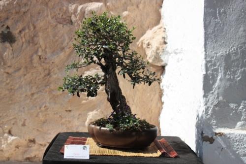 Bonsai Olivo Juan Jose Pacheco - Bonsai Oriol