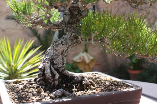 Bonsai Pino Negro, Tronco - Bonsai Oriol