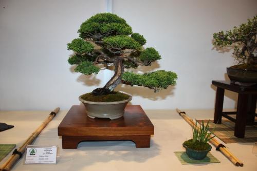 Bonsai Juniperus Chinensis Itoigawa - CBALICANTE