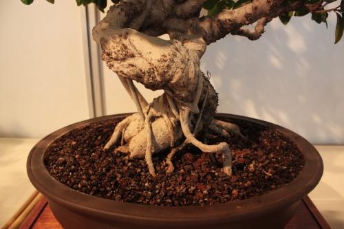 Bonsai Tronco de Ficus - CBALICANTE