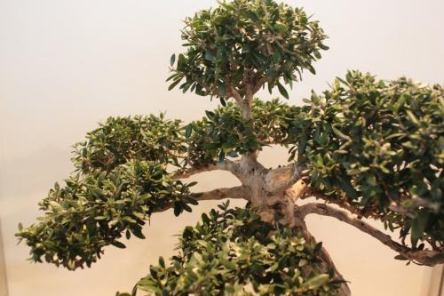 Bonsai Ramas de Acebuche - CBALICANTE