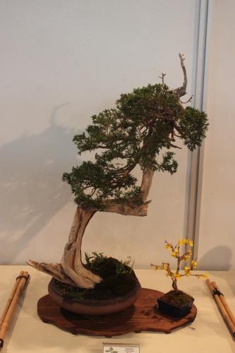 Bonsai Juniperus Sabina - CBALICANTE