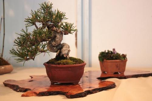 Bonsai Pinus Parviflora - CBALICANTE