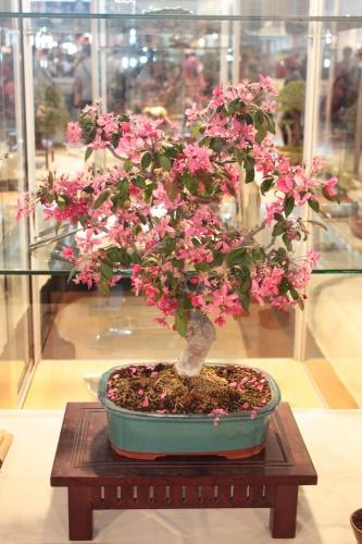 Bonsai Manzano - Malus sp. - CBALICANTE