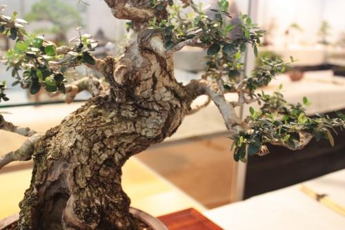 Bonsai Acebuche visto de cerca - Detalles Corteza - CBALICANTE