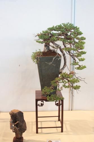 Bonsai Enebro Rastrero - Juniperus Procumbens - CBALICANTE