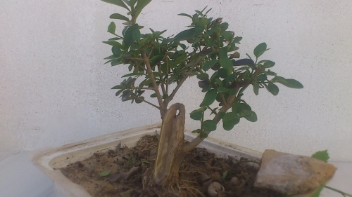 Bonsai ligustrum2 - javel
