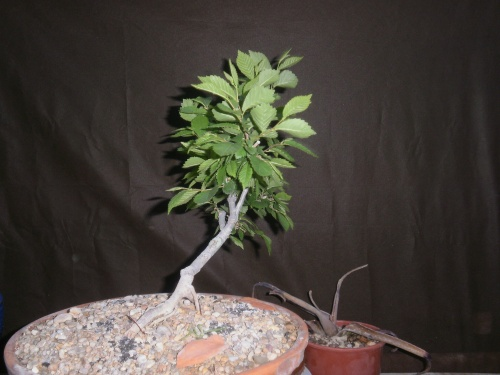 Bonsai Olmo tendido - SARRUT