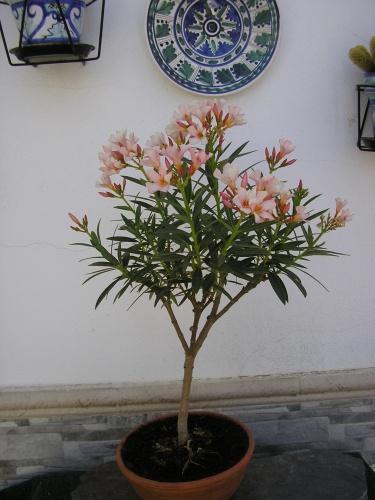 adelfa en flor