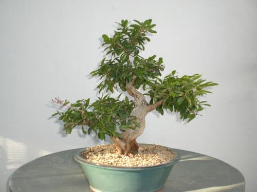 Bonsai 11059 - vicente solbes