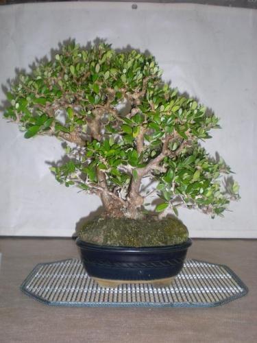 Bonsai Acebuche - Sueca