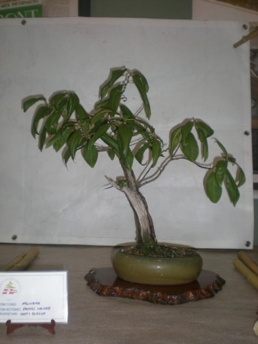 Bonsai Prunus - Sueca