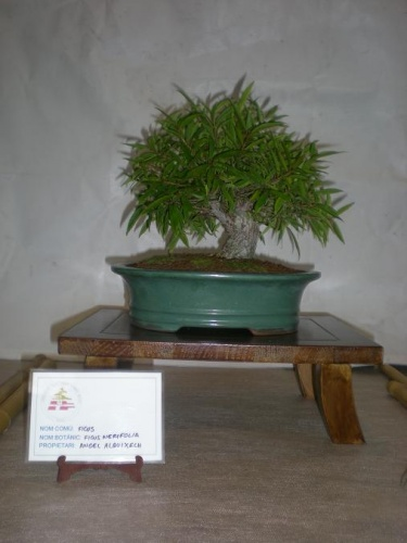 Bonsai Ficus nerifolia - Sueca