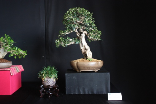 Bonsai Acebuche Mallorquin - Bonsai Oriol