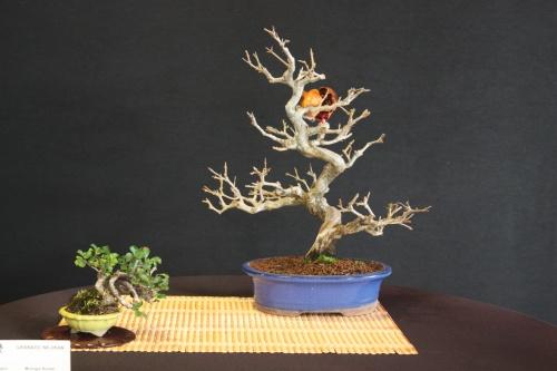 Bonsai Granado Nejikan - Bonsai Oriol