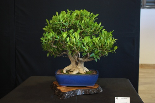 Bonsai Ficus Retusa - Bonsai Oriol