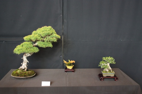 Bonsai Pino Pentaphila Olivo - Bonsai Oriol