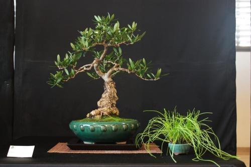 Bonsai Olivo - Bonsai Oriol