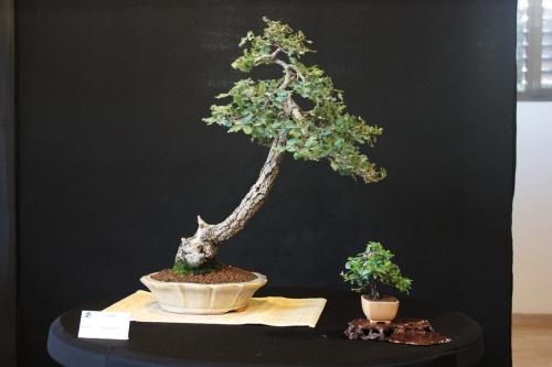 Bonsai Roble - Bonsai Oriol