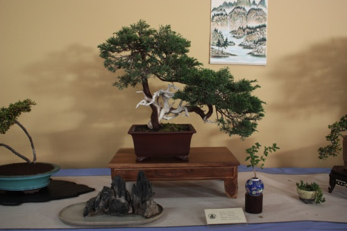 Bonsai Juniperus Sabina - Assoc. Bonsai Cocentaina