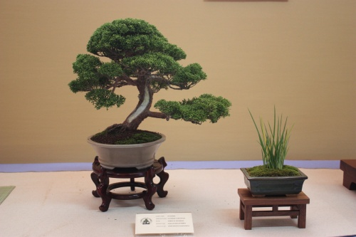 Bonsai Junipero Chinensis - Assoc. Bonsai Cocentaina