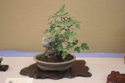 Bonsai Higuera - Ficus Carica - Assoc. Bonsai Cocentaina