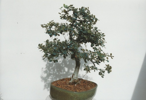 Bonsai 11399 - vicente solbes
