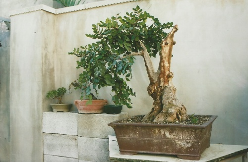 Bonsai 11403 - vicente solbes