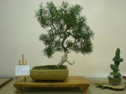 Bonsai 11555 - Assoc. Bonsai Muro