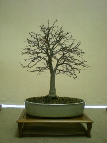 Bonsai 11563 - Assoc. Bonsai Muro