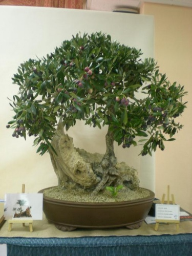 Bonsai 11571 - Assoc. Bonsai Muro