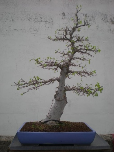 Bonsai Celtis chinensis-5 - Elias