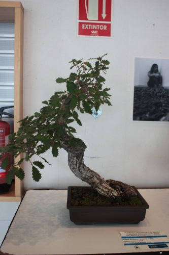 Bonsai Quercus Ruber - torrevejense