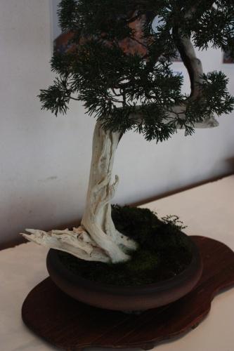 Bonsai Tronco de Junipero - torrevejense