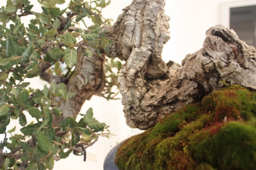 Bonsai Tronco Alcornoque - Club Bonsai Alicante - torrevejense