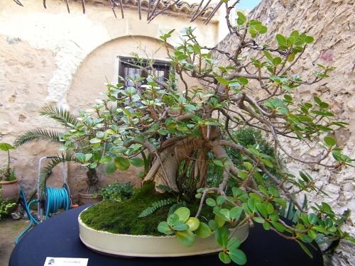Bonsai Ficus Panda - Bonsai Oriol