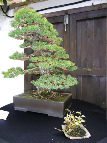 Bonsai Pino cinco agujas - Bonsai Oriol