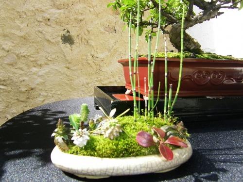 Bonsai 11799 - Bonsai Oriol