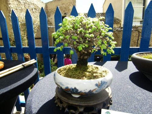 Bonsai Zelkova de Pedro Aracil - Bonsai Oriol