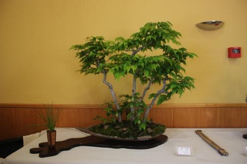 Bonsai Bosc de carpinus - CBALICANTE