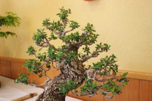 Bonsai Ullastre - CBALICANTE