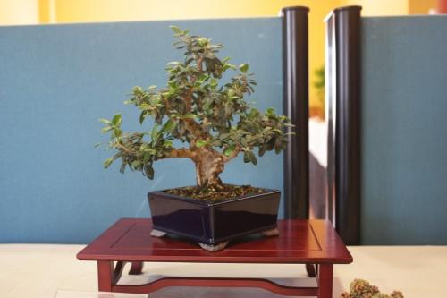 Bonsai Olivera Borda ( Olea Europaea Sylvestris ) - CBALICANTE