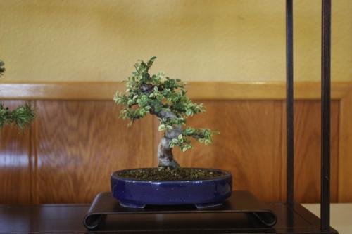Bonsai Olmo - Composición de Sohin - CBALICANTE