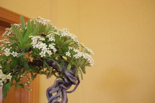 Bonsai Flores de Piracanta - CBALICANTE
